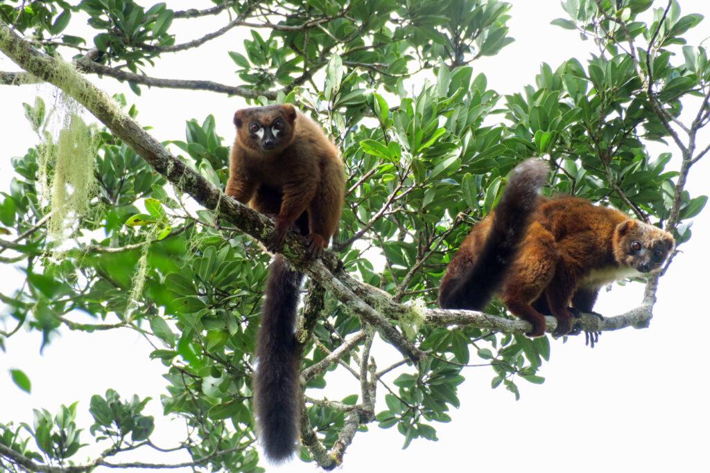 red bellied lemurs